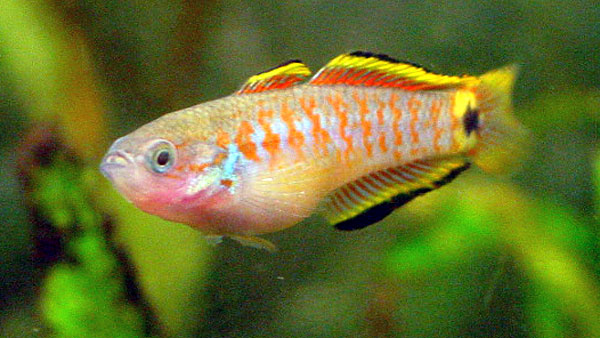 Back > Gallery For > Peacock Gudgeon Goby