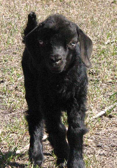 angora black singles Angora rabbit wool with alpaca makes an  such as blending black alpaca with white alpaca will produce gray plying two singles of contrasting colors will.